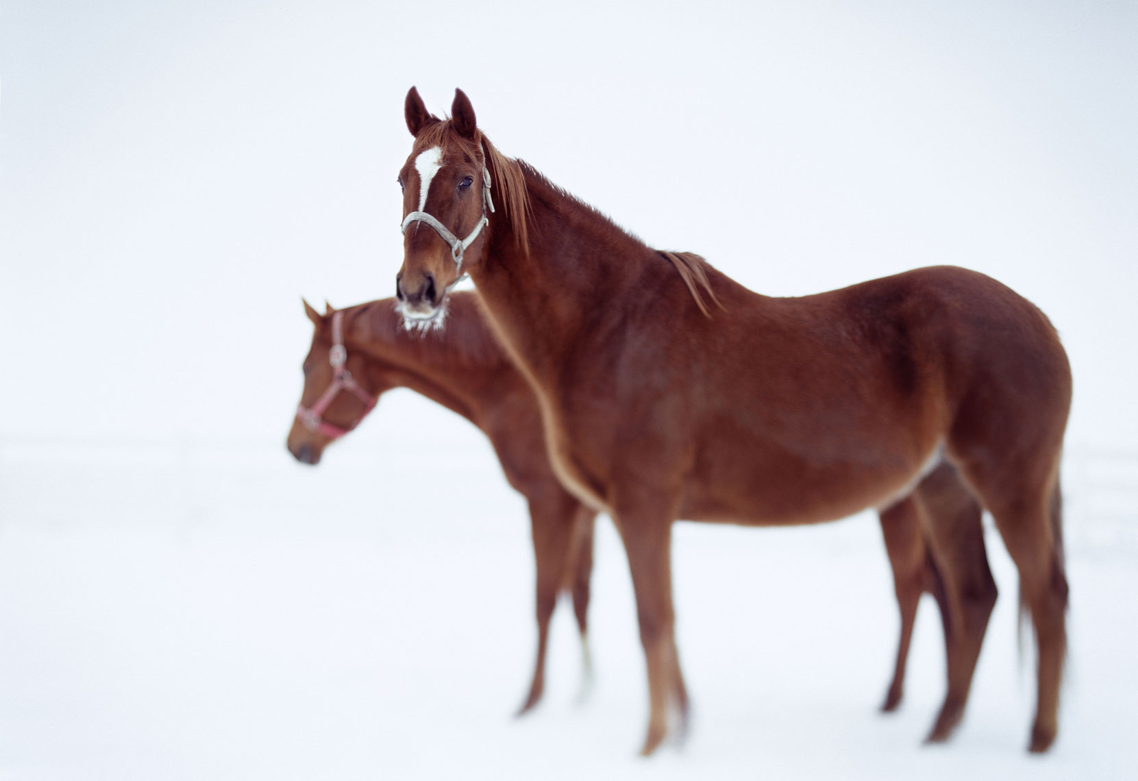 Environmental lifestyle portrait of horses in winter